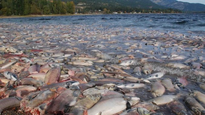 Hundreds of Millions of Salmon Feared Dead On US West Coast