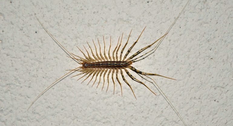 This Is Why You Should Never Kill House Centipedes