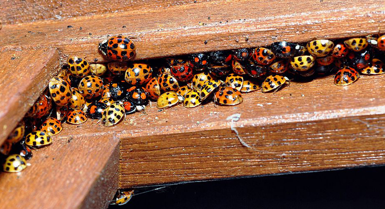 Looks Just Like Ladybug Bit It's Much More Dangerous – Here's What You Must Do If You See It