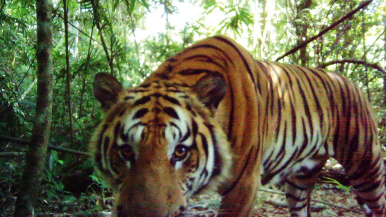 'Miraculous' Discovery Of Ultra-Rare Indochinese Tigers In Thailand