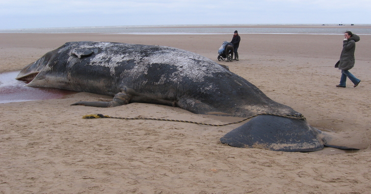 Whales Found Washed Up On Shore Died With Stomachs Full of Plastic and Car Parts