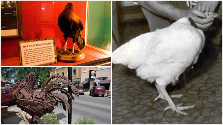 Miracle Mike: The Headless Chicken That Lived For 18 Months Without A Head