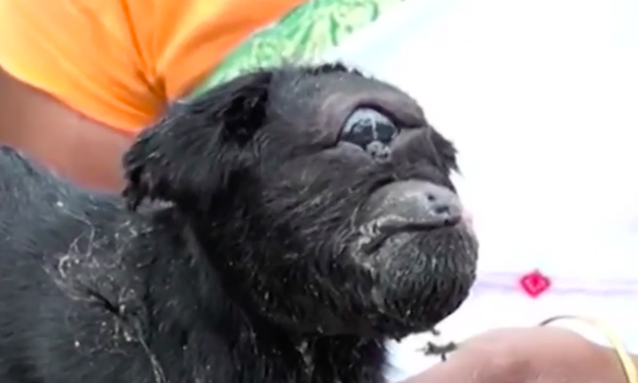 Cyclops Goat Born With One Eye And One Ear Is Worshipped By Villagers In India