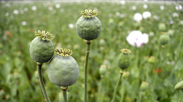 Police Stumble on $500 Million Opium Poppy Field In North Carolina