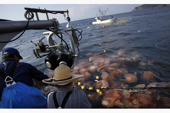 Jellyfish Force Nuclear Plant To Shutdown In Sweden