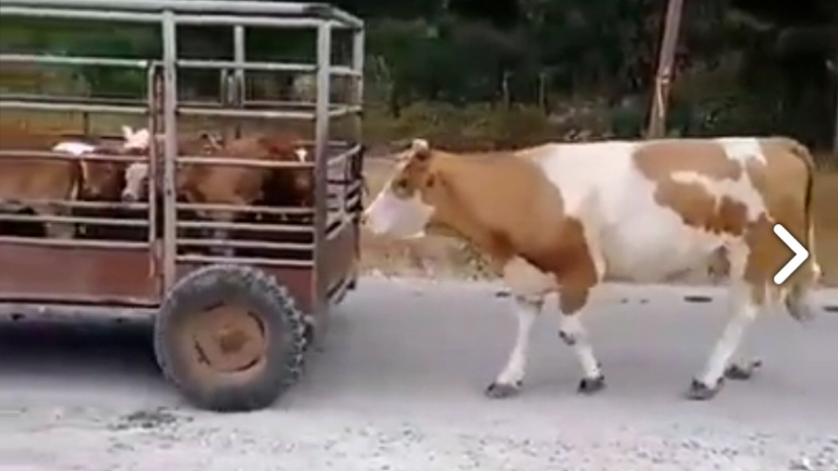 Mother Cow Following Her Calves Being Driven Away Shows Sad Reality of the Meat Industry