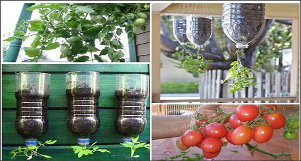 Plant And Harvest Your Own Tomatoes Without Toxins And Space Using A Bottle Of 2 Liters Only