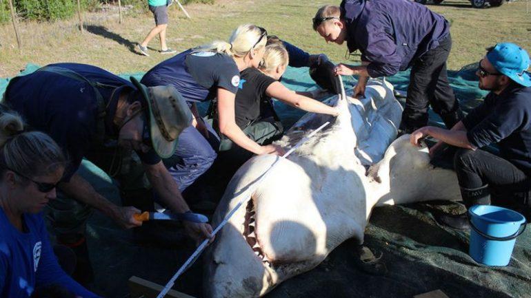 Mystery…….4 Dead, Liverless Sharks Wash Ashore in Weird Whodunit