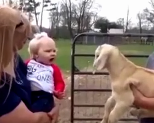 A Real Conversation Between A Human Toddler and A Baby Goat