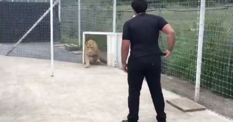 Man Is Reunited With Lion Whose Life He Saved…..Wait Until You See How The Animal Thanks Him