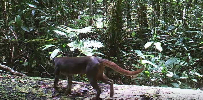 Jungle Creature Who Eluded Scientists For Decades Is Finally Caught On Film