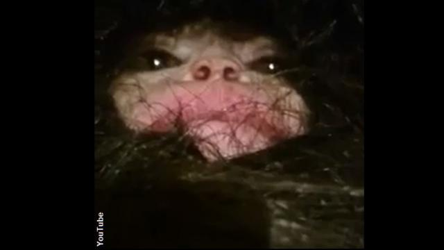 Unsettling Footage: Hairy Creature Captured In Azerbaijan