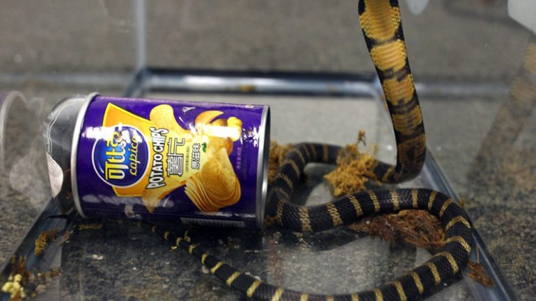 Deadly Snakes Arrive In U.S., Shipped In Potato Chips Cans